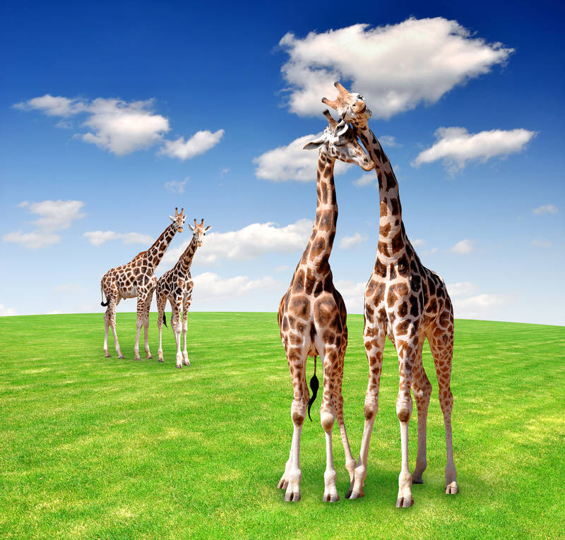 Римские шторы Жирафы
