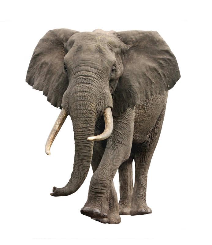 Печать на холсте Слон
