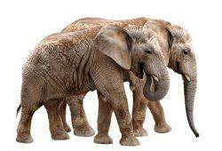 Животные и птицы Слоны