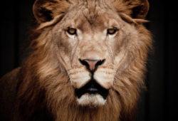 Животные и птицы Львы