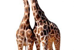 Животные и птицы Жирафы