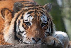 Животные и птицы Тигры