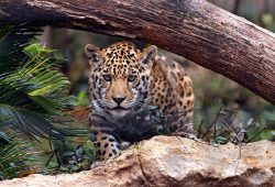 Животные и птицы Леопарды
