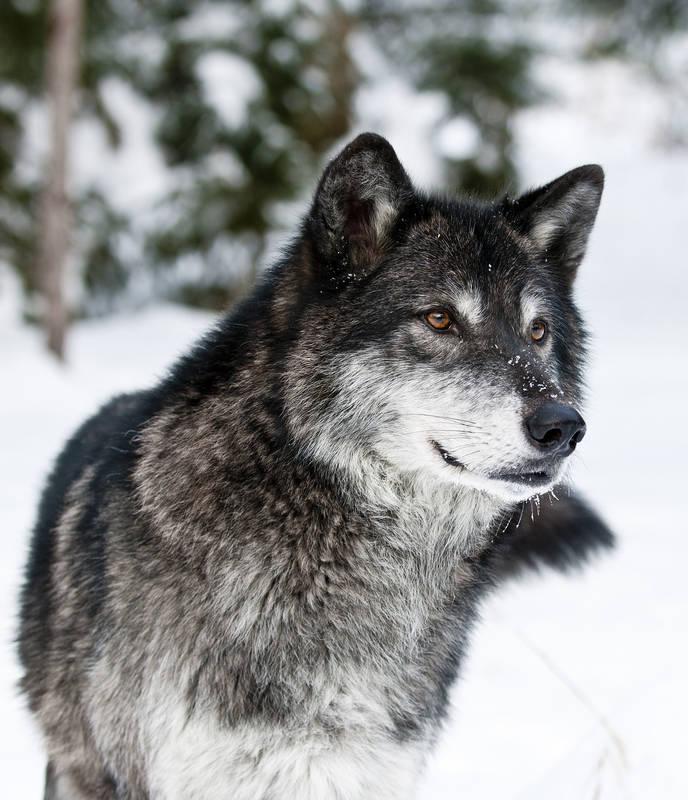 Римские шторы Серый волк