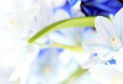 Белые с синие цветы