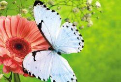 Бабочка на гербере