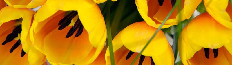 Скинали для кухни Желтые тюльпаны