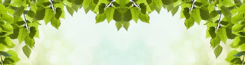 березовые листочки картинки