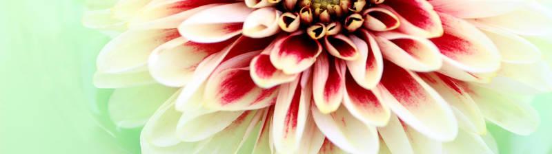 Хризантема