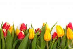 Желто-красные тюльпаны, дизайн #06467