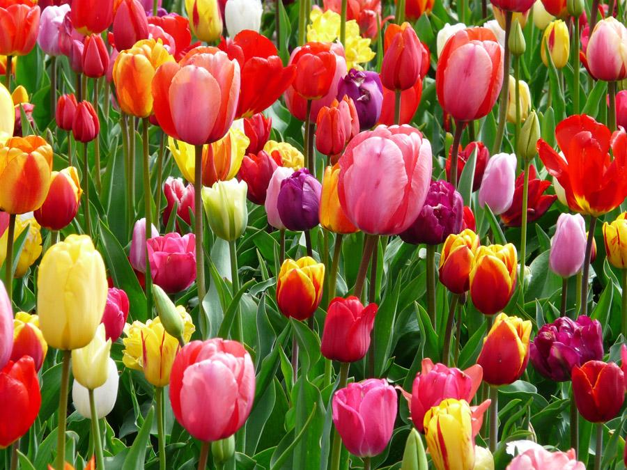 Разноцветные тюльпаны, дизайн #06468