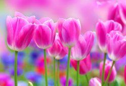 Тюльпаны, дизайн #07468