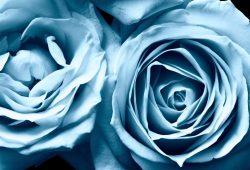 Синяя роза, дизайн #07625