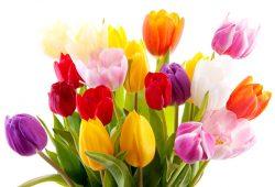 Тюльпаны, дизайн #08322