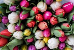 Тюльпаны, дизайн #08328