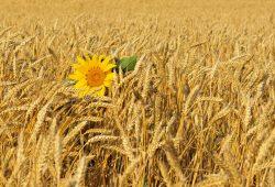 Поле пшеницы, дизайн #0858717
