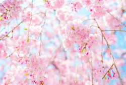 Розовые цветы, дизайн #0859517