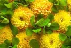 Желтые цветы, дизайн #08699