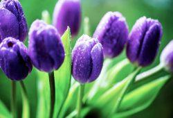 Тюльпаны, дизайн #08712