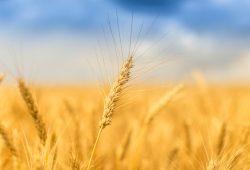 Пшеница, дизайн #08720