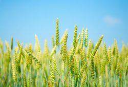 Пшеница, дизайн #08726