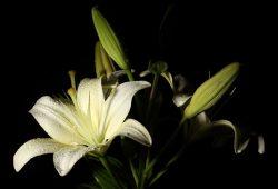 Белая лилия, дизайн #08855
