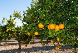 Апельсиновое дерево, дизайн #08883