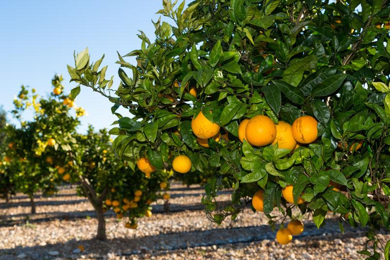 Апельсиновое дерево фотообои