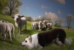 Овцы и волки, дизайн #09237